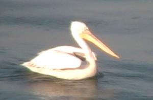 pelican2