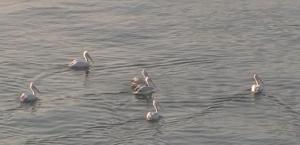 pelican6